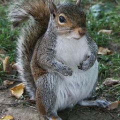 256px-Common_Squirrel